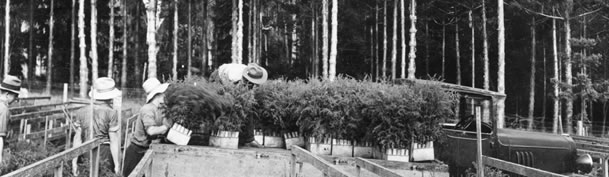1930's black and white photo of Aaucaria seedlings being made ready at the nursery for replanting