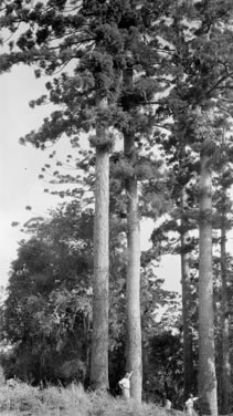 Black and white photo of surverying Araucaria plantation in 1952